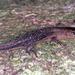 Alopoglossus - Photo (c) herpguy, todos los derechos reservados, uploaded by Paul Freed