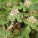 Trifolium glomeratum - Photo (c) curiousgeorge61, todos los derechos reservados