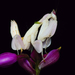 Orchid Mantis - Photo (c) Zleng, all rights reserved, uploaded by Kean Leng Ang