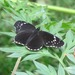 Mariposa Parche Simple - Photo (c) rcollin, todos los derechos reservados, uploaded by rcollin