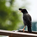 Crested Myna - Photo (c) HK Wong, all rights reserved