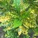 Codiaeum variegatum pictum - Photo (c) Kayson Lo, όλα τα δικαιώματα διατηρούνται