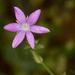 Triodanis texana - Photo (c) Jason Penney, todos los derechos reservados