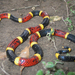 Texas Coral Snake - Photo (c) Jason Penney, all rights reserved