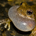 Canyon Tree Frog - Photo (c) Jason Penney, all rights reserved