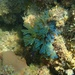 Alga Azul - Photo (c) Pamela Arnold, todos los derechos reservados