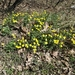 Ranunculus polyrhizos - Photo (c) Alex Star, todos los derechos reservados