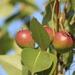 Satopäärynäpuu - Photo (c) Vickie Pullen, kaikki oikeudet pidätetään