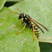 French Paper Wasp - Photo (c) Paul, all rights reserved, uploaded by creaturesnapper