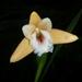 Sobralia crocea - Photo (c) rudygelis, todos los derechos reservados