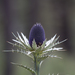 Eryngium proteiflorum - Photo (c) Anne, all rights reserved