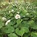 Snow Poppy - Photo (c) naota, all rights reserved