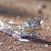Ptenopus - Photo (c) herpguy, todos los derechos reservados, uploaded by Paul Freed