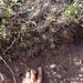 Echinocereus maritimus - Photo (c) Adam Taylor, all rights reserved
