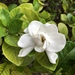 Common Gardenia - Photo (c) ericchan, all rights reserved