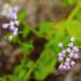 Flores de Niebla - Photo (c) Melissa McMasters, todos los derechos reservados