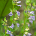 Scutellaria parvula - Photo (c) Eric Hunt, todos los derechos reservados