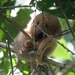 Silky Anteater - Photo (c) pbedell, all rights reserved, uploaded by pbedell