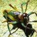 Gnathoclita sodalis - Photo (c) langlands, todos los derechos reservados