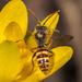 Nomada maculata - Photo (c) Tyler Christensen, todos los derechos reservados