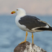 Yellow-footed Gull - Photo (c) Gerardo Marrón, all rights reserved