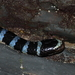 Brown-lipped Sea Krait - Photo (c) Hari, all rights reserved
