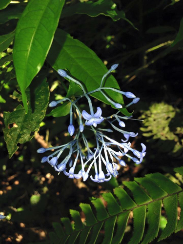 Faramea multiflora image