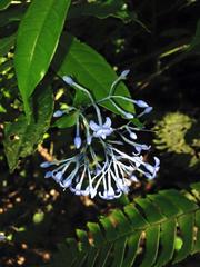 Image of Faramea multiflora