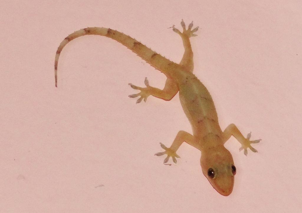 Geco Casero Tropical (Hemidactylus mabouia) · NaturaLista