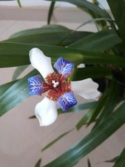 Neomarica gracilis image