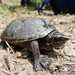 Common Musk Turtle - Photo (c) Matt Brady, all rights reserved