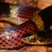 Scaphiodontophis annulatus - Photo (c) asydabass, כל הזכויות שמורות, uploaded by Don Filipiak