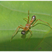 Red Weaver Ant-mimicking Spider - Photo (c) Anoop Asranna, all rights reserved
