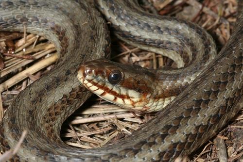 gulf salt marsh snake subspecies nerodia clarkii clarkii
