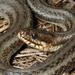Gulf Salt Marsh Snake - Photo (c) Toby Hibbitts, all rights reserved