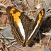 Adelpha malea goyama - Photo (c) Jay Keller, όλα τα δικαιώματα διατηρούνται, uploaded by Jay L. Keller
