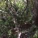 Ixora cauliflora - Photo (c) duclos, kaikki oikeudet pidätetään