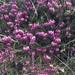 Erica carnea - Photo (c) brambi5291, όλα τα δικαιώματα διατηρούνται