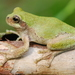 Bird-voiced Tree Frog - Photo (c) Robert Gundy, all rights reserved