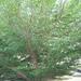 Terminalia ivorensis - Photo (c) สีเทา แค่เท่านั้นน, todos los derechos reservados