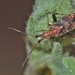 Clouded Plant Bug - Photo (c) carlos mancilla, all rights reserved