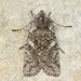 Lithophane grotei - Photo (c) Michael H. King, todos los derechos reservados, uploaded by mhking