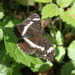 Eurasian White Admiral - Photo (c) naturalist, all rights reserved, uploaded by naturalist