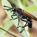 Protomydas coerulescens - Photo (c) Jay Keller, όλα τα δικαιώματα διατηρούνται, uploaded by Jay L. Keller