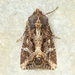Kidney-spotted Rustic Moth - Photo (c) Michael King, all rights reserved