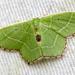Polillas Verdes - Photo (c) bjkauffman, todos los derechos reservados