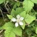 Trailing Blackberry - Photo (c) Carrie Cervantes, all rights reserved