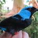 Mielero Azul Y Negro - Photo (c) jeisson, todos los derechos reservados, uploaded by Jeisson Figueroa