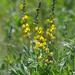 Thermopsis californica - Photo (c) Henry (Hank) Fabian, todos los derechos reservados