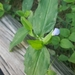 Commelina erecta - Photo (c) Lois Kim, όλα τα δικαιώματα διατηρούνται